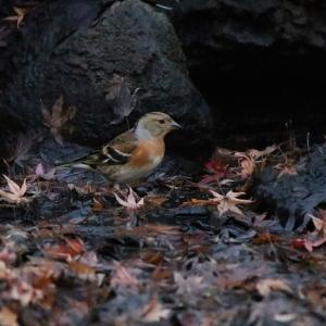 谷津干潟から香澄公園まではしご鳥見 水飲みするアトリとキジバト