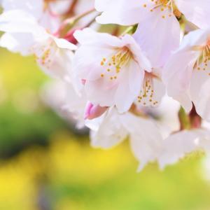 桜湯で春の気配を「味わう」♪