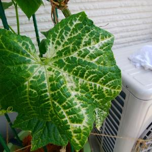 きゅうり育成 100日目  葉脈の色が薄くなり白くなってしまう