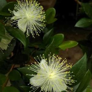 銀梅花とミニバラ