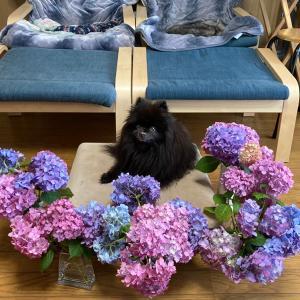 色とりどりの紫陽花と無彩色のポメラニアン