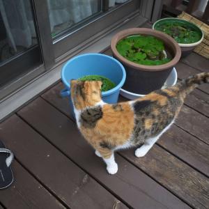ストロベリーアイスとメダカ鉢と猫