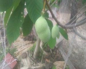 【40から始める家庭菜園日記 17日目】幻の果物?ポポー「ダイエットにも最適として去年テレビで紹介されました」