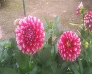 【40から始める家庭菜園日記 18日目】今回も家の庭に咲いている花の紹介です「夏の花と言えばダリアでしょ」