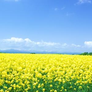 春分の日、青空の下黄色い菜の花畑で親子写真