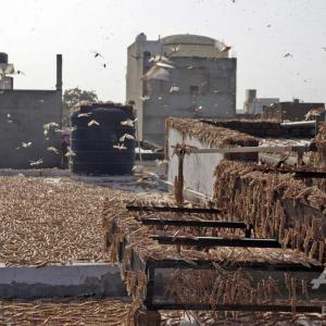 【蝗害】キモ~ インドに到達した「バッタの大群」あまりにも巨大化…旅客機の運航支障、機体損傷の恐れあり・・・!