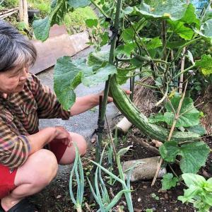 【熊本】特大キュウリ成長中(長さ63センチ、直径8センチ) 農家の女性「こんなに育ったのは初めて」と驚き 芦北町
