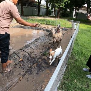泥パックはムリっ!入りたいくせに入りたくないジャックラッセル
