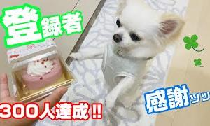 チャンネル登録者300人記念!! ほんとにありがとうございます!! 記念のケーキをチワワが食べた結果がッッッ…