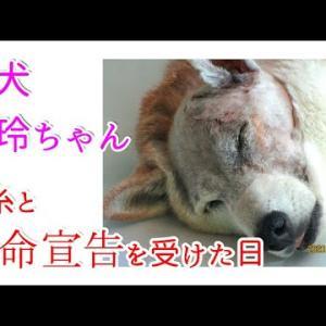 【悲報】抜糸の日に余命宣告された!柴犬玲ちゃんは克服へ向けて抗がん剤投薬スタートします!!ガン転移Stage3