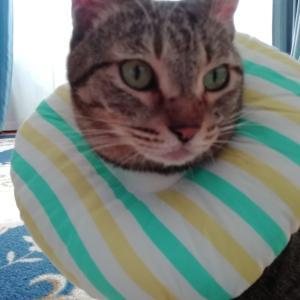 猫のエリザベスカラーの比較