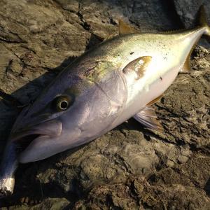 今年の初釣りは佐田岬半島でハマチ80cm!