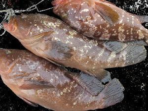 タコベイト最強説【タコハチベイト】広島のランカーアコウが釣れる!