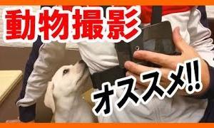 ペット撮影におすすめ!スマホ ウェアラブルカメラ チェスト ハーネス「犬・猫動画を取るなら」ラブラドールレトリバー 大型犬