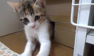 追い詰められた子猫が箱から飛び出し大はしゃぎ。【赤ちゃん猫】【保護子猫】