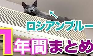 ロシアンブルー😸子猫からの1年間まとめ猫動画😻猫を飼いたい!と思うと思います😁【かわいいyoutube猫動画】【ねこ cat】