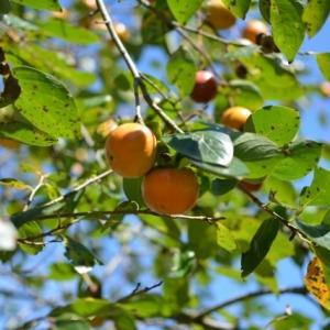 高濃度の柿渋(タンニン) くえるかあああ コロナ無害化と発表 抑える効果に期待して商品化しようかなぁ 奈良県立医科大学 虹の庭に生えているけど 食べるかい ボトボト落ちて鳥のエサになる