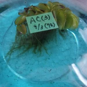 #青蝶 vol.11「8回目の採卵と孵化数と、稚魚移動」20200903・12