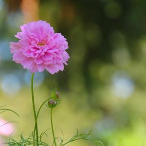 秋桜*朝はおにぎり~☆