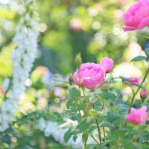 rose season*初夏の香り