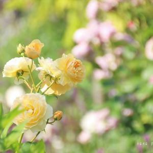 yellow rose*朝の時間あれこれ