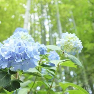 お散歩の続き*ブルーの紫陽花