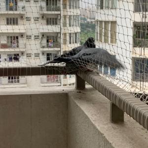 インドの鳩が引っかかってきた