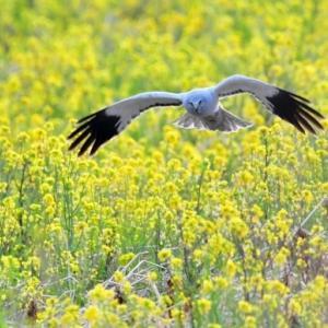 菜の花が咲いていた  ハイイロチュウヒが飛んでいた