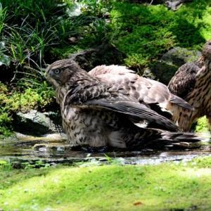 若タカの記録 水浴び