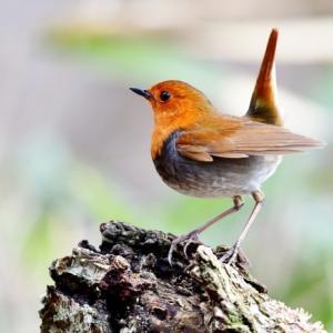 コマドリ 初夏を彩る野鳥1