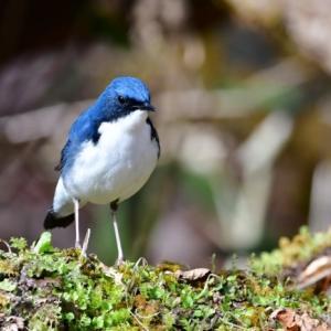 コルリ 初夏を彩る野鳥2