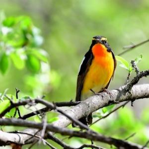 キビタキ 初夏を彩る野鳥3