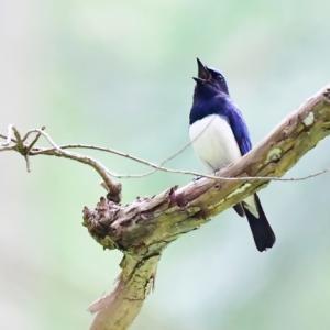 オオルリ 初夏を彩る野鳥4