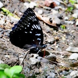 スミナガシ 流麗な佳蝶