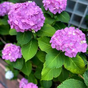 紫陽花さんぽの季節です