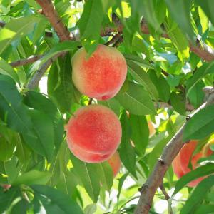 夏が旬の桃を使って桃料理を作る!桃のアールグレイマリネが美味しい!
