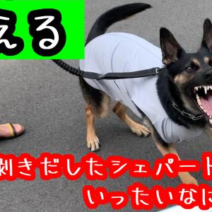 朝の散歩中に吠える犬、スイカを食べる