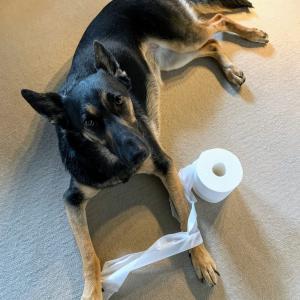 トイレットペーパー置いたらグラビアアイドル化した犬