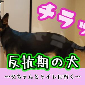 反抗期の犬~父ちゃんとトイレに行く?~