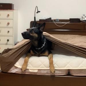 ベッドメイキングを邪魔する犬