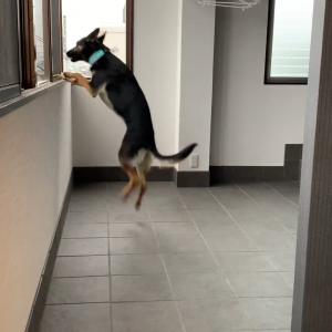 「○○○の舞」を踊りきった犬