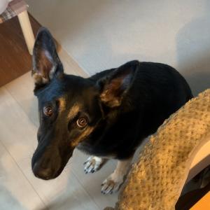 食事中に催眠術をかけてくる犬