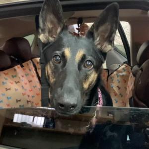 新しいドライブシートの機能に不満な犬
