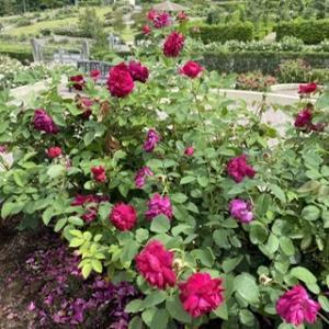 薔薇は美しく、たくましく