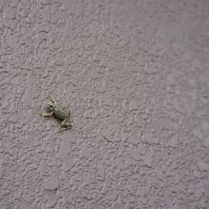 保護色 変身中のアマガエル 蛙嫌いの人は見ないように