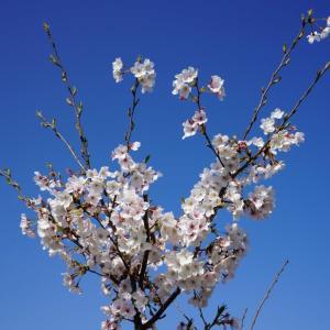 これから大きくなる桜に耐えられる 田舎の庭