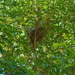 庭の木にキジバトの巣作り
