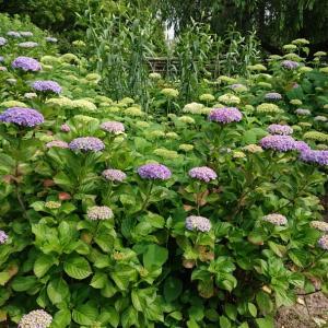 季節の花  あじさい  紫陽花園が開園しました