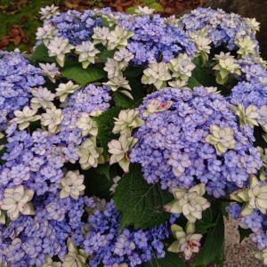 フライング紫陽花