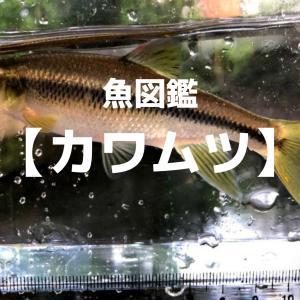 【魚図鑑】カワムツ(川鯥)